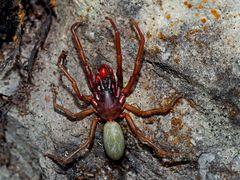 Sechsaugenspinne (Dysderidae), ev. ein Männchen von Harpactea rubicunda. - Une araignée rare...