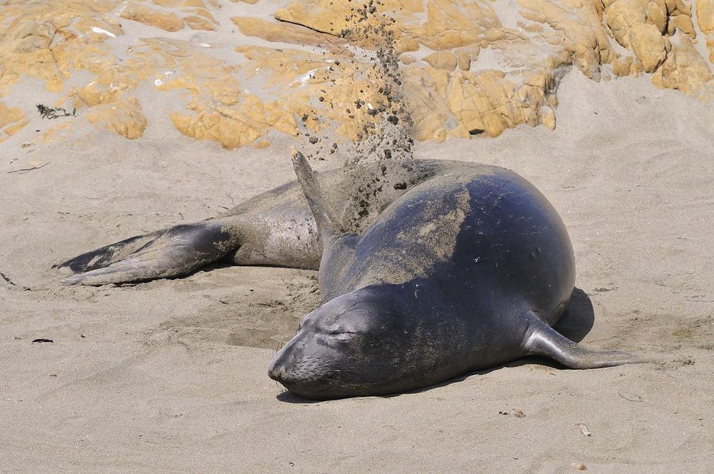 See-Elefant beim Sandbad