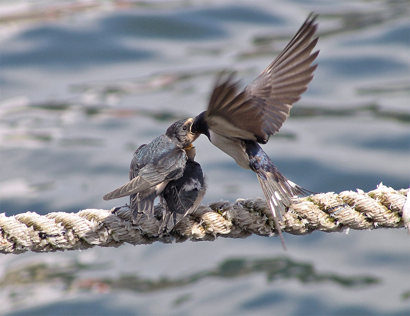 'See'- Schwalben oder: wo ist nur das Nest geblieben???