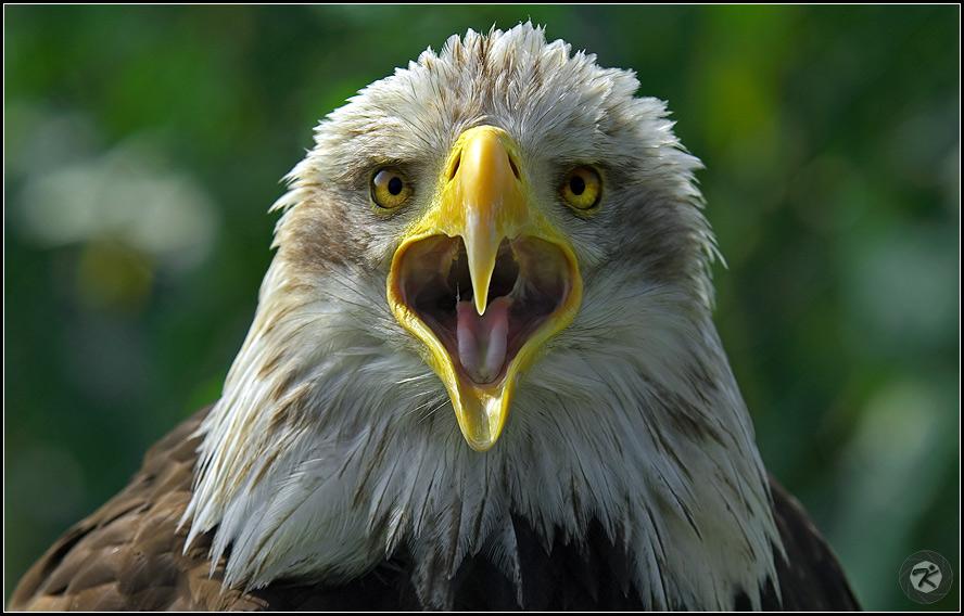 < Seeadler >