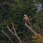 Seeadler Altvogel (M)