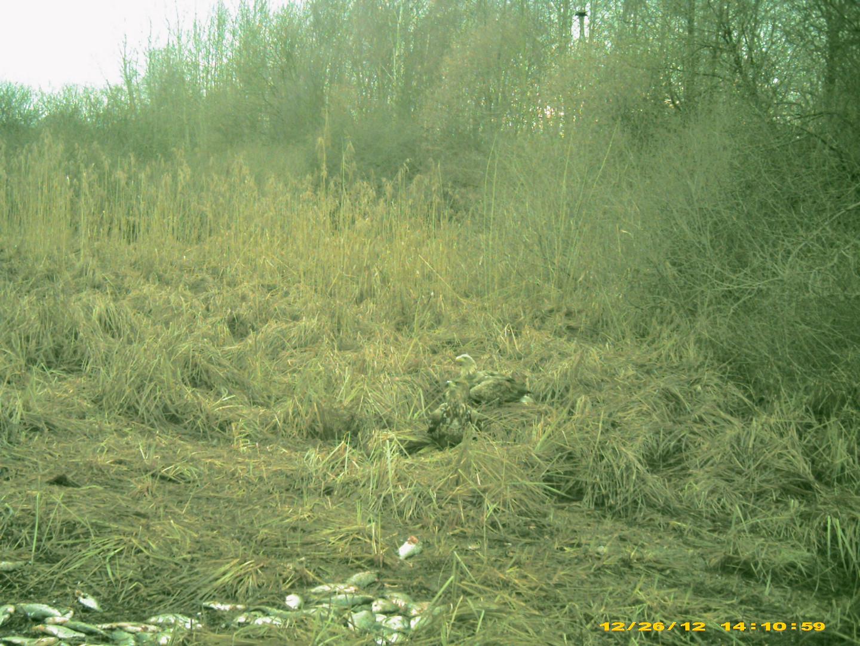 Seeadler am Schaalsee