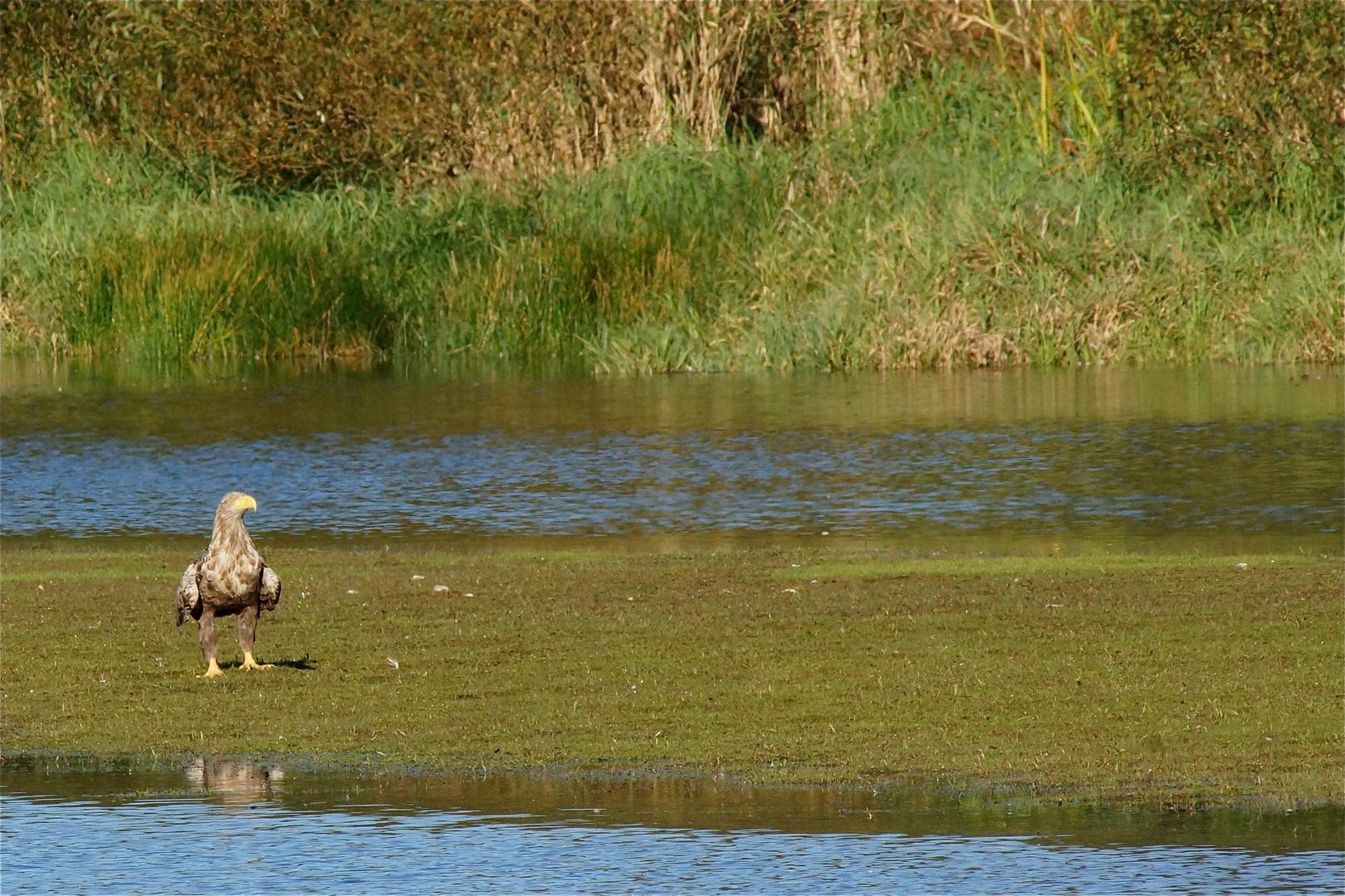 Seeadler - Ammersebek
