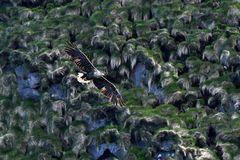 Seeadler an der Steilküste vor Bleik Vesteralen