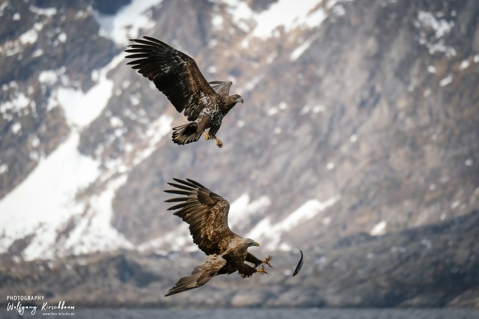 Seeadler auf den Lofoten