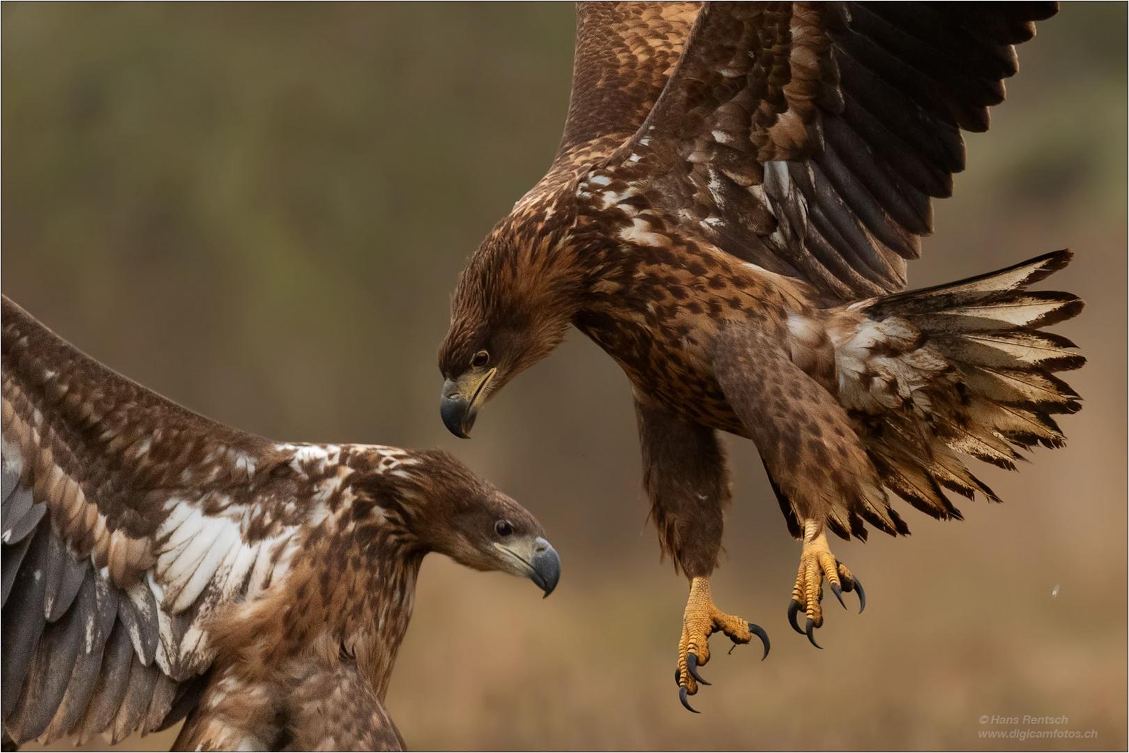 Seeadler bei kleinen Streitereien.