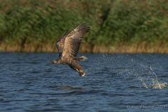 Seeadler beim Fangerfolg