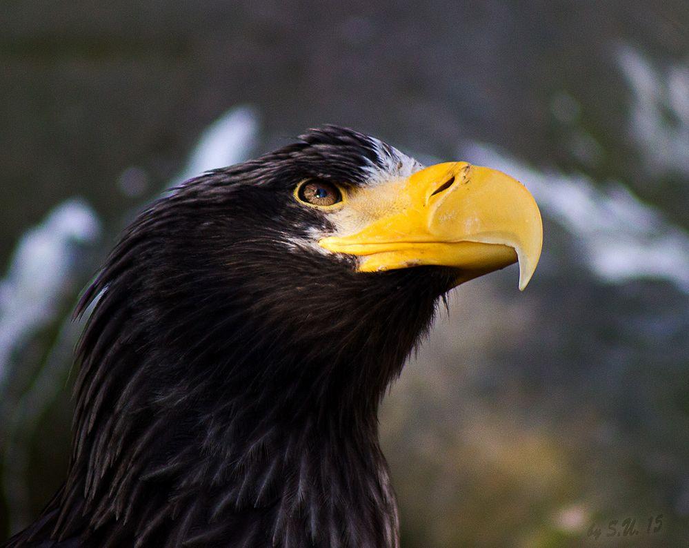Seeadler Blick