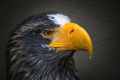 Seeadler - Closeup