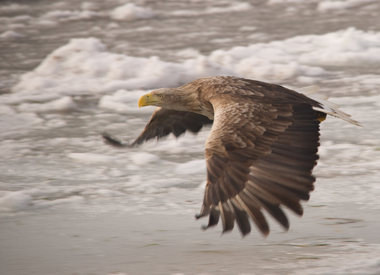Seeadler Flug