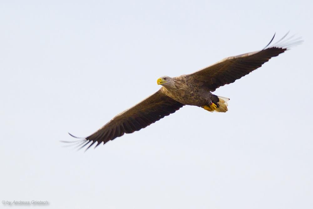 Seeadler (Haliaeetus albicilla) im Flug.