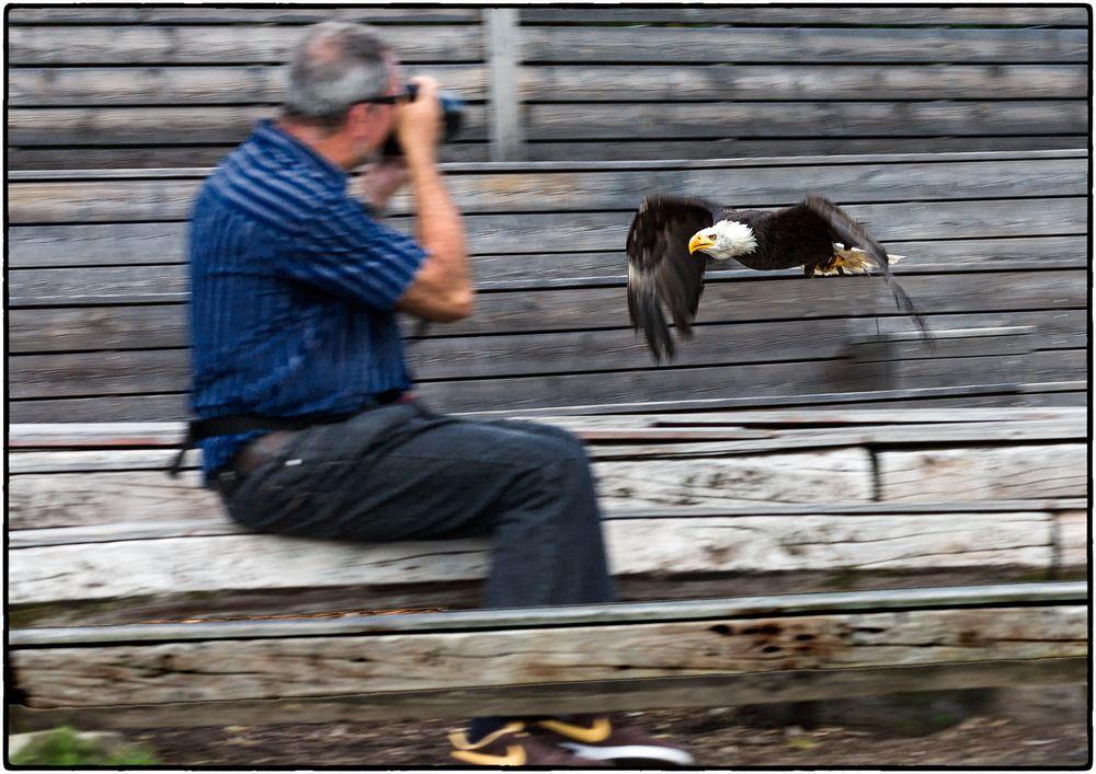 Seeadler im Anflug auf den Fotografen
