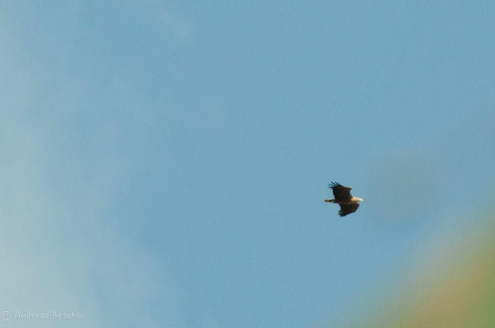 Seeadler im Vorbeiflug