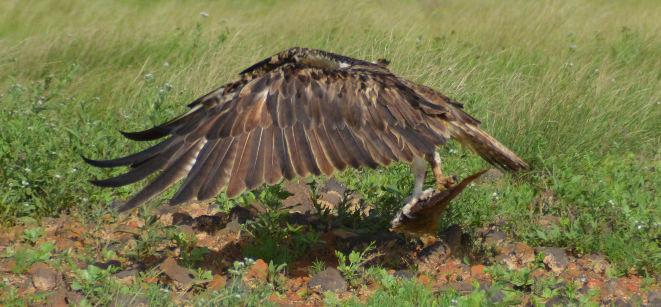 Seeadler mit vollem Flügelschwung