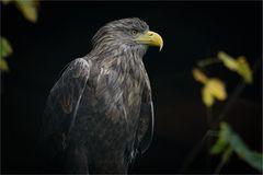 Seeadler-Portrait