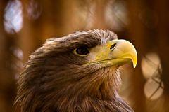 Seeadler Profil
