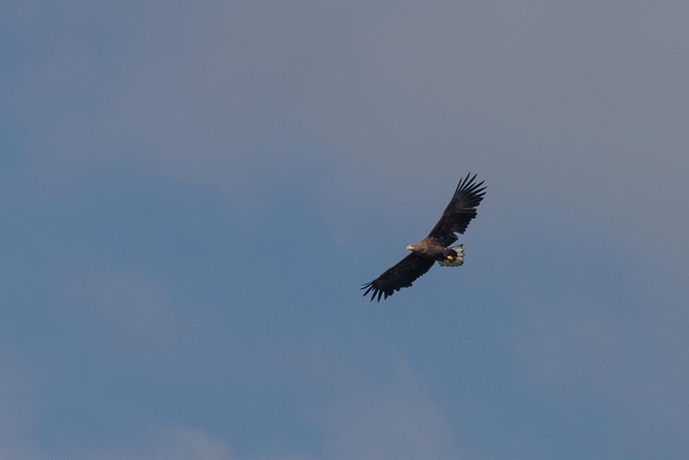 Seeadler über Ostthüringen