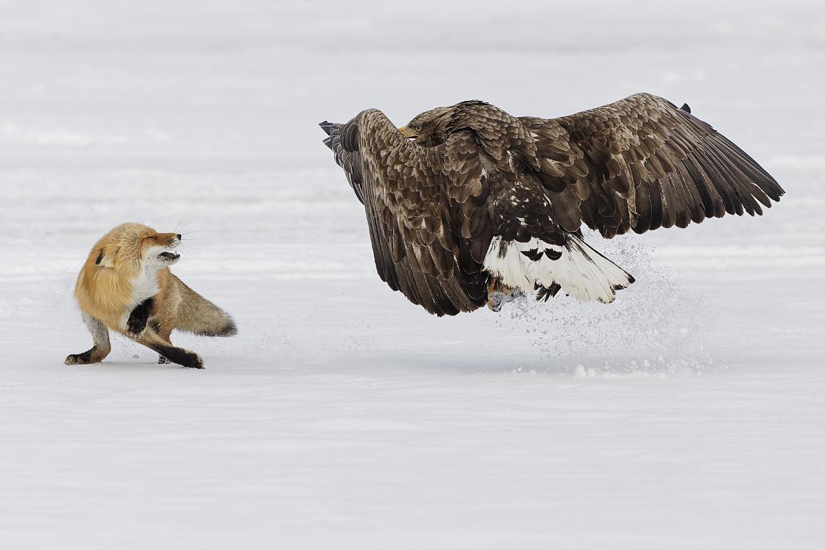 Seeadler und Rotfuchs