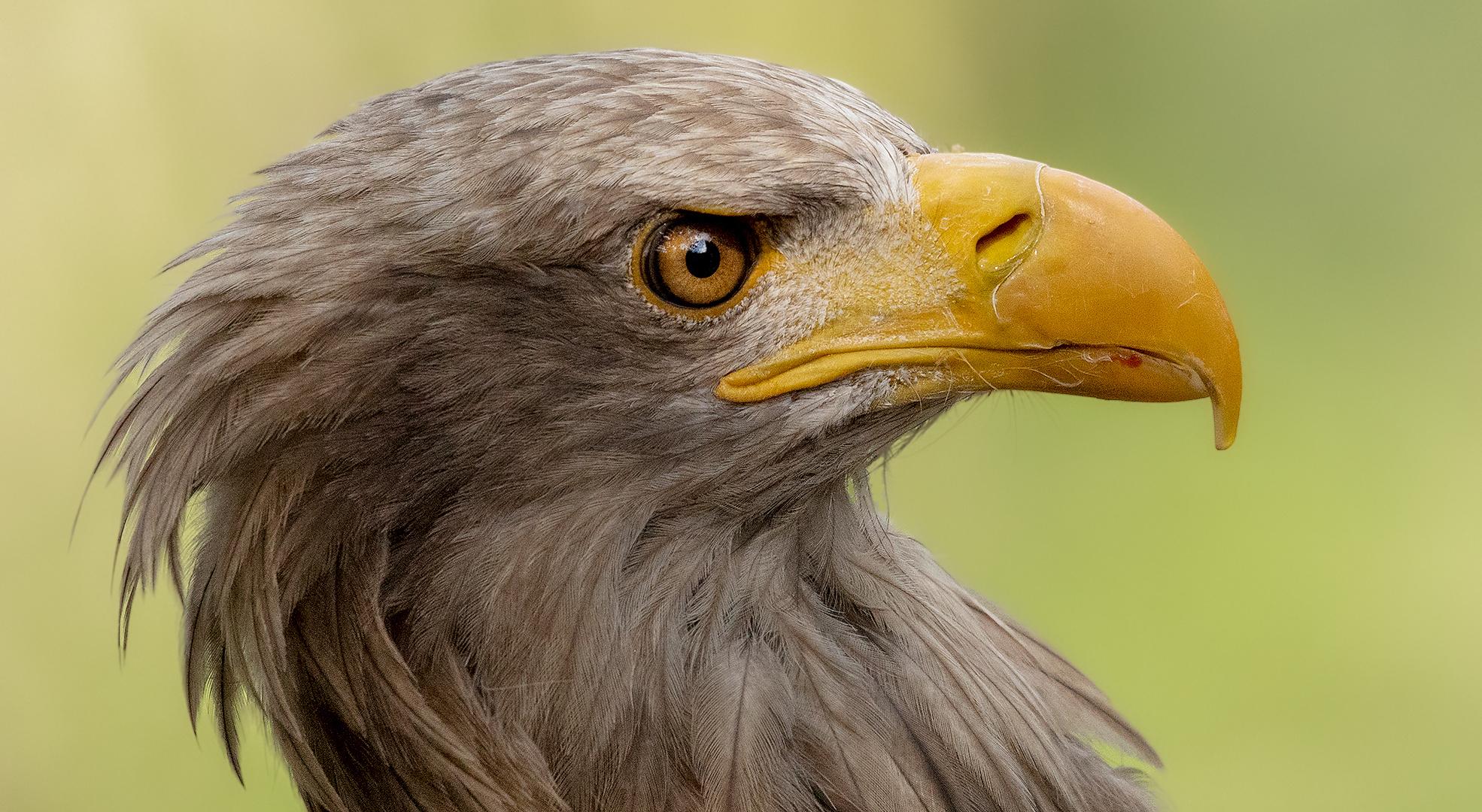 Seeadler.Portrait 012