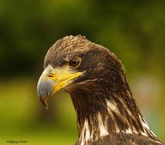 Seeadlerweibchen im Wild-und Freizeitpark Allensbach