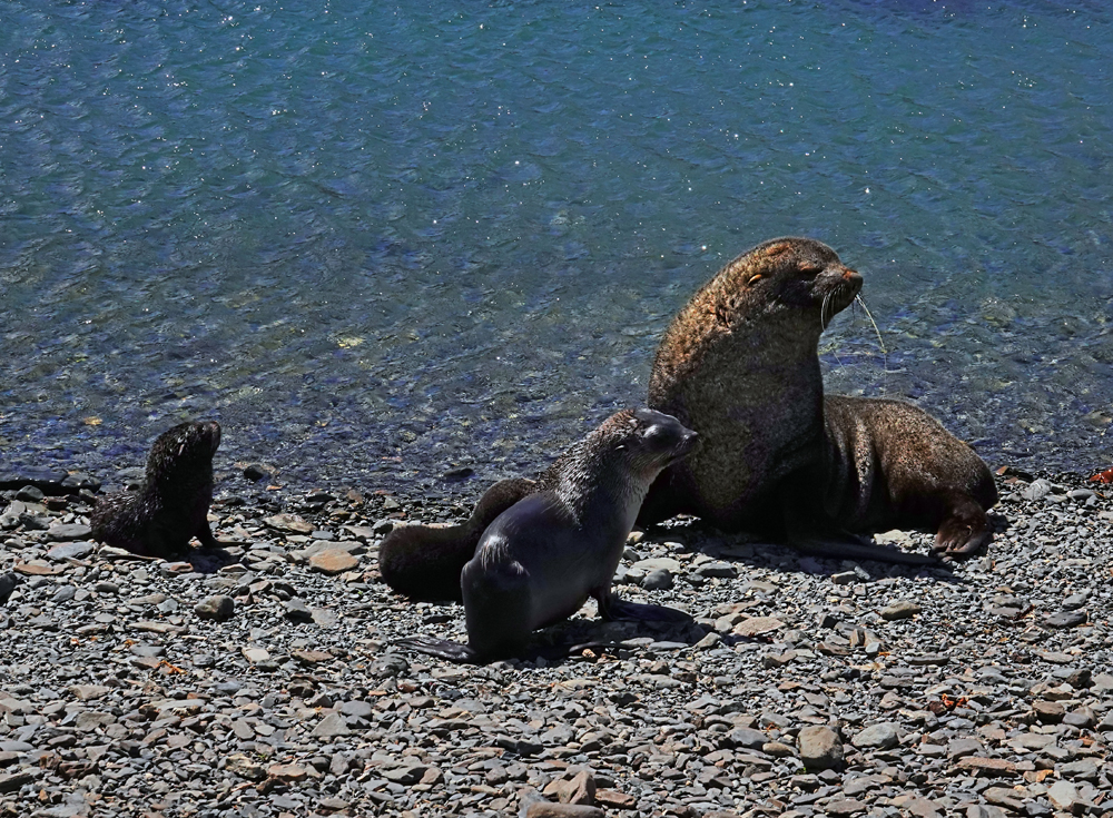 Seebärenmutter mit Nachwuchs