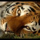 Seebebenhilfe - Sibirischer Tiger