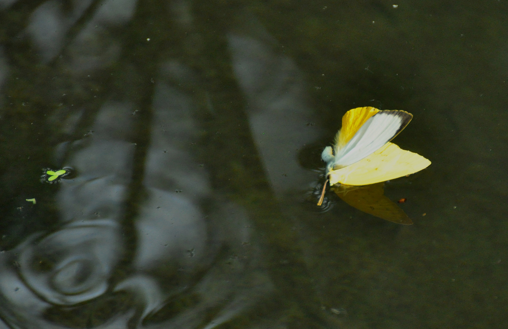 Seebestattung eines Papilioniden