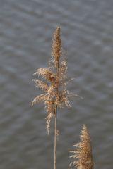 Seegras im Wind