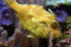 Seegras- oder Tangfeilenfisch