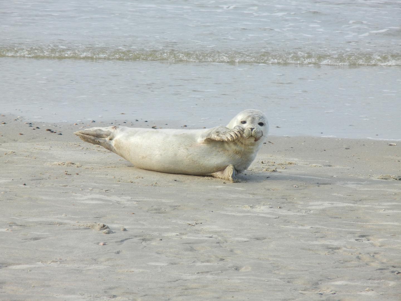 Seehund auf Baltrum