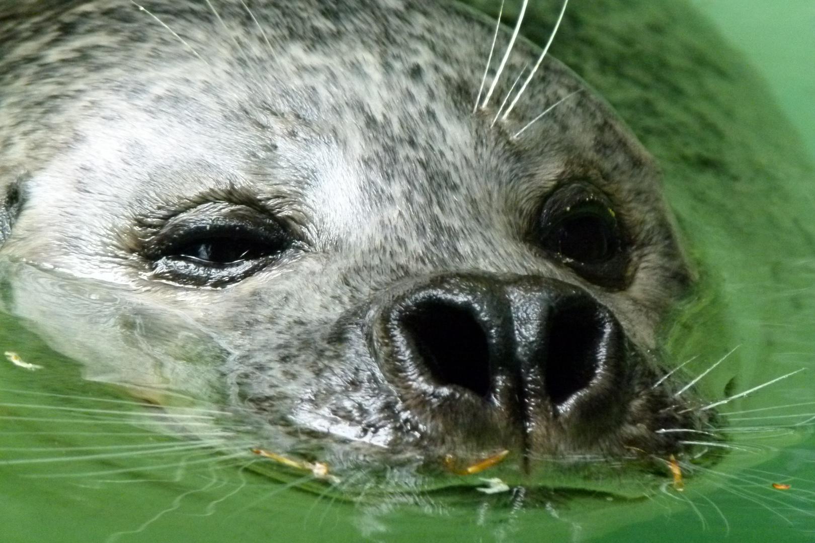 Seehund auf Tauchstation