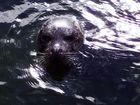 Seehund ist neugierig
