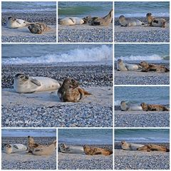 Seehund + Kegelrobbe