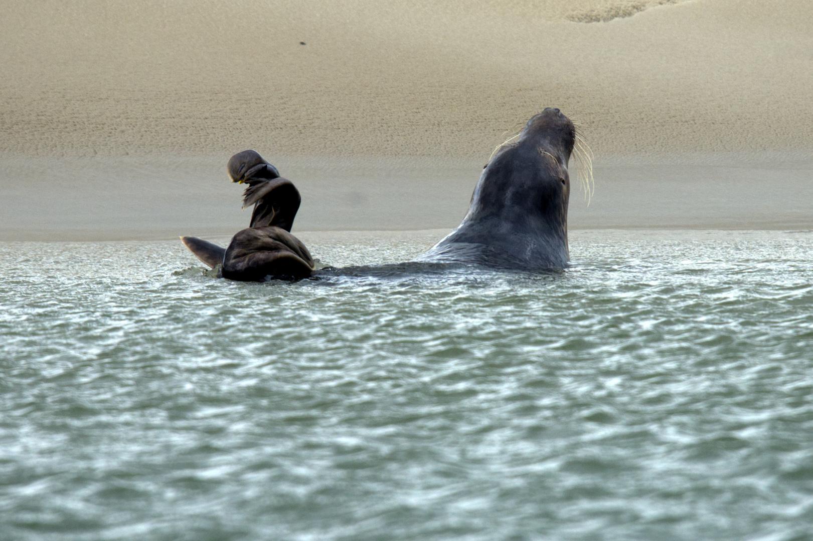 Seehund schwimmend vor Sandbank