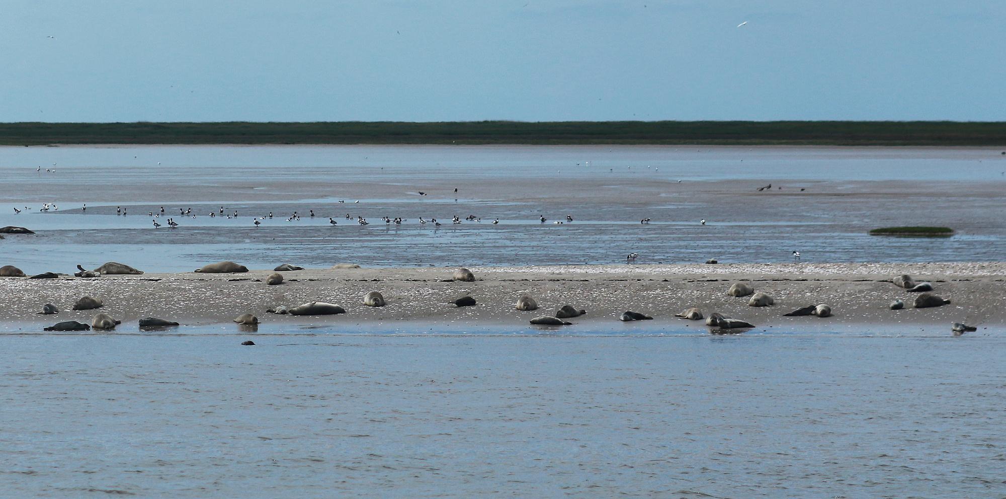 Seehundbank Foto & Bild | natur, nordsee, tiere Bilder auf fotocommunity