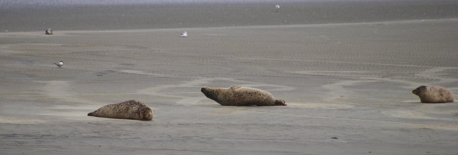 Seehundbank Cuxhaven Foto & Bild   tiere, wildlife, säugetiere ...