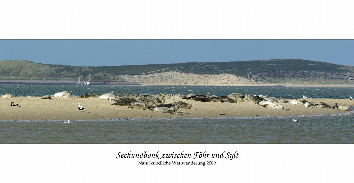 Seehundbank zwischen Föhr und Sylt Foto & Bild   tiere, wildlife ...