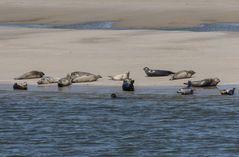 Seehunde auf Borkum