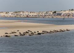 Seehunde auf Borkum II