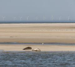 Seehunde auf Borkum III