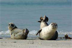 Seehunde auf Helgoland / Düne