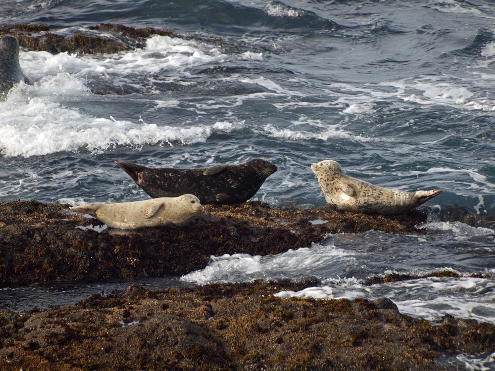 Seehunde on the rocks