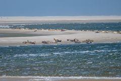 Seehunde vor Texel