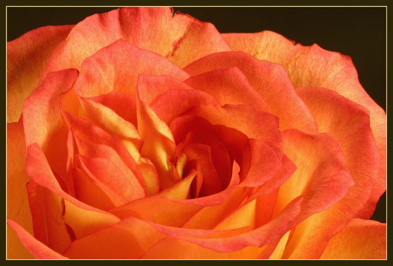 Seelenleben einer Rose