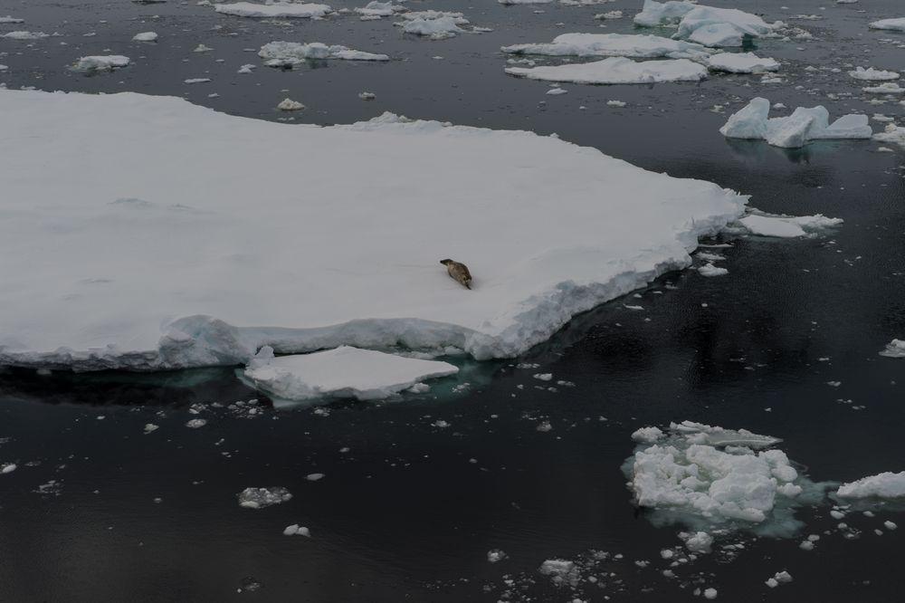 Seeleopard auf einer Eisschlle  DSC_0602