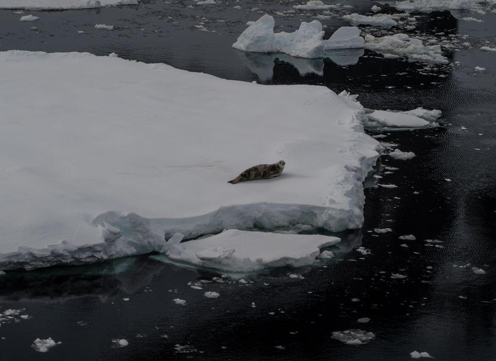 Seeleopard auf Eisscholle   DSC_0601-2