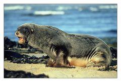 Seelöwe am Strand von Waipapa Point