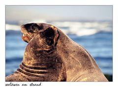 Seelöwen am Strand von Waipapa Point