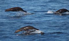 Seelöwen im Meer