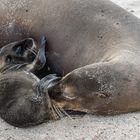 Seelöwenmutter mit Baby